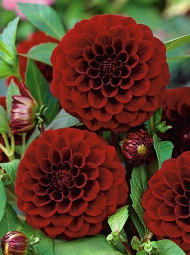 Dalia (Dahlia) Black Diamond