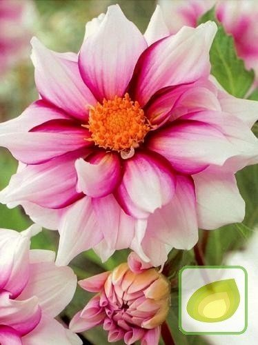 Dalia (Dahlia) Edge Of Joy