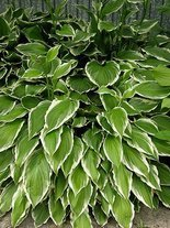 Funkia (Hosta) Green Gold