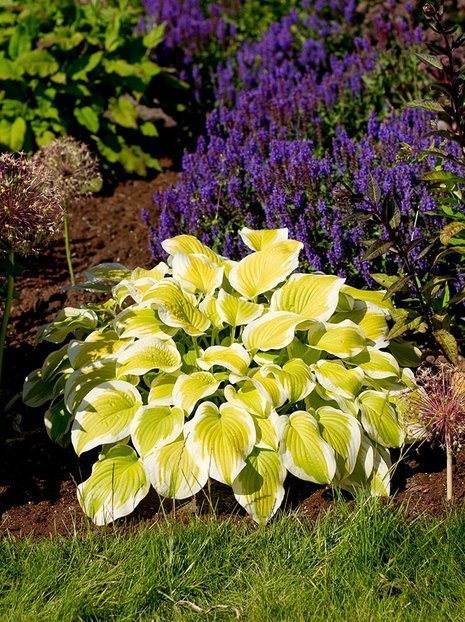 Funkia (Hosta) Spring Morning