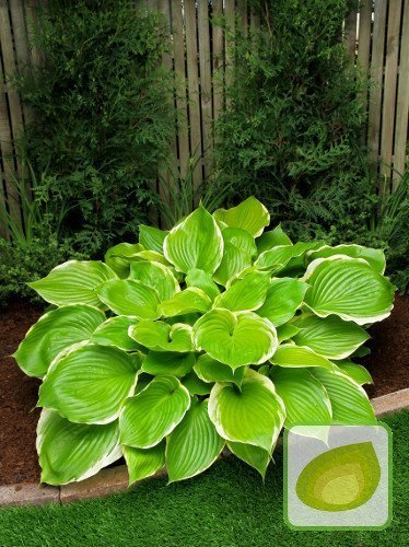Funkia (Hosta) Winter Snow