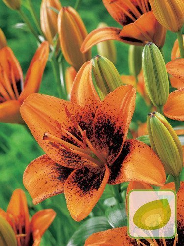 Lilia (Lilium) Pixels Orange