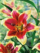 Lilia (Lilium) Red Dutch