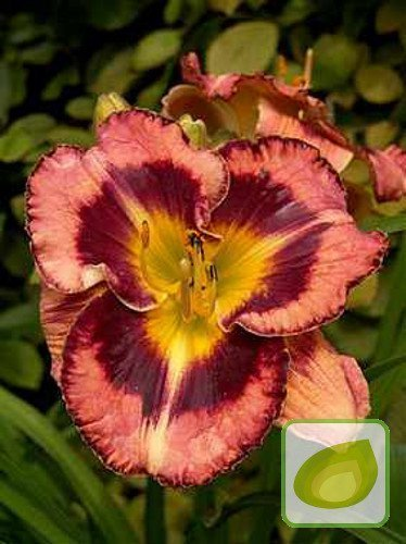 Liliowiec (Hemerocallis) Big City Eye