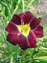 Liliowiec (Hemerocallis) Super Purple