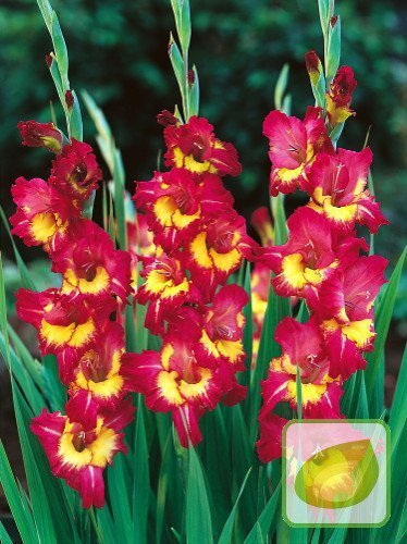 Mieczyk (Gladiolus) Far West