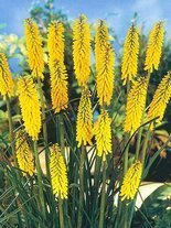 Trytoma (Kniphofia) Minister Verschuur