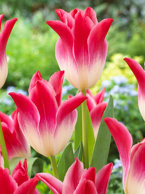 Tulipan (Tulipa) Whispering Dream