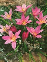 Zefirant (Zephyranthes) Robustus