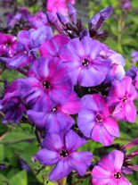 Floks (Phlox) Autumn Joy