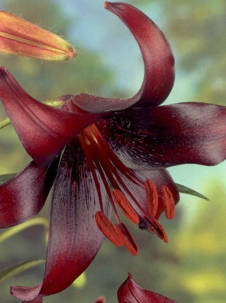 Lilia (Lilium) Night Flyer