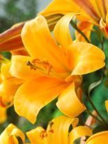 Lilia (Lilium) Orange Planet