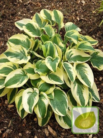 Funkia (Hosta) Wide Brim