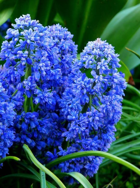 Szafirek (Muscari) Blue Spike