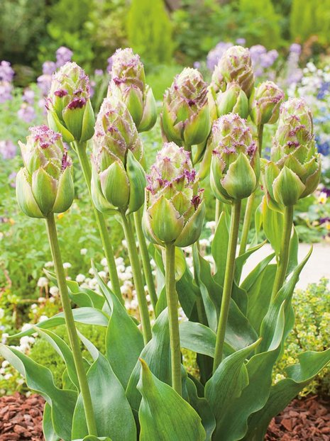 Tulipan Purple Tower