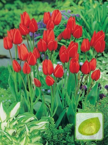 Tulipan Tani Red Georgette