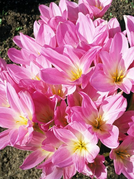 Zimowit (Colchicum) The Giant