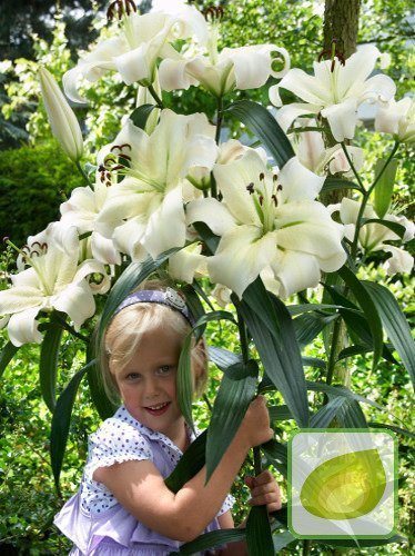 Lilia (Lilium) Pretty Woman