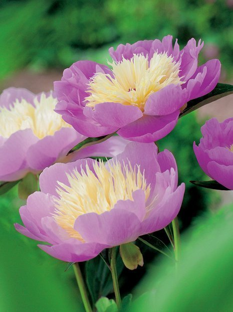Peonia (Paeonia) 'Bowl of Beauty'