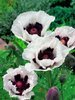Mak (Papaver) Perry's White